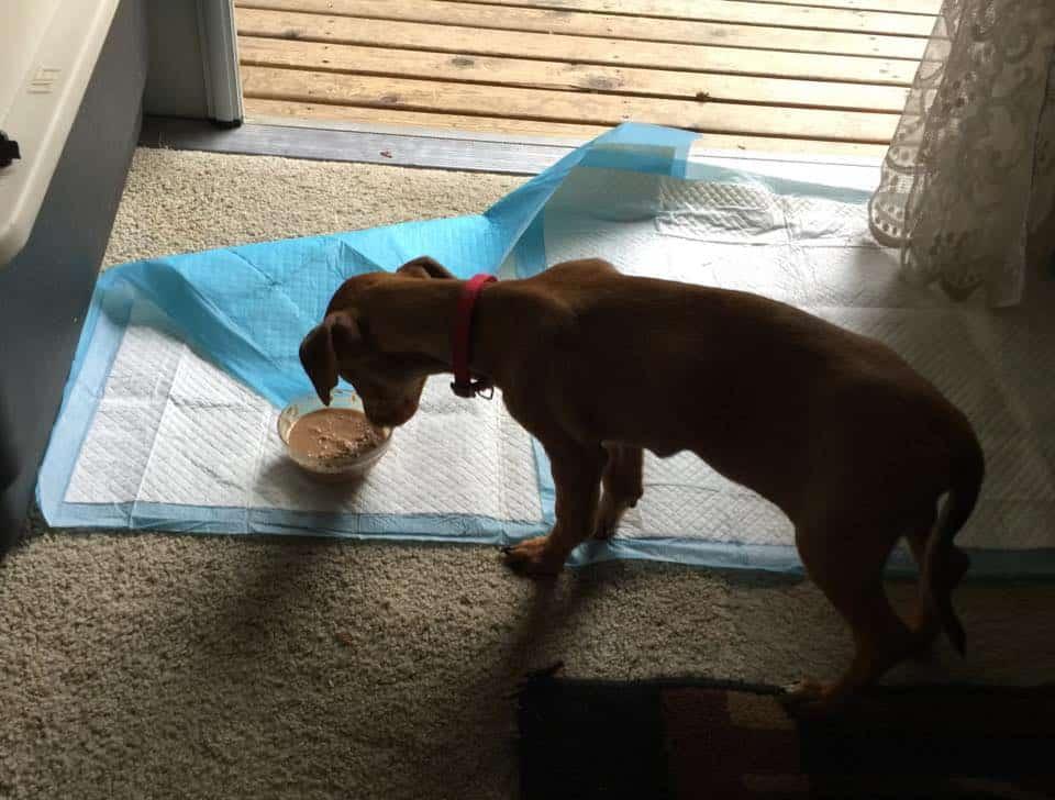 Chiweenie pup with Parvo.