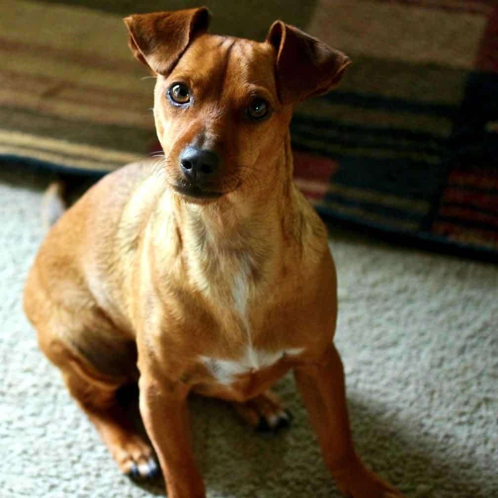 Carson our Canine parvo Survivor