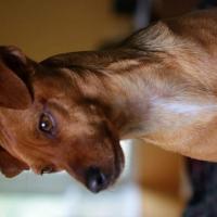 Carson Canine Parvo Survivor