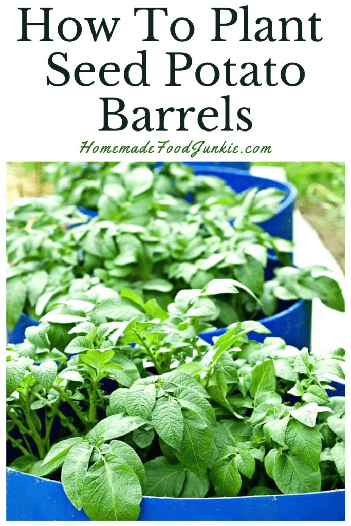 How To Plant Seed Potato Barrels-Pin Image