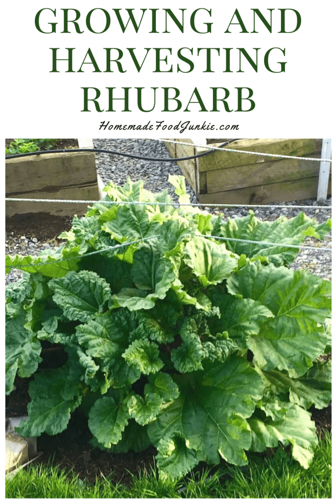 Growing and harvesting rhubarb-pin image