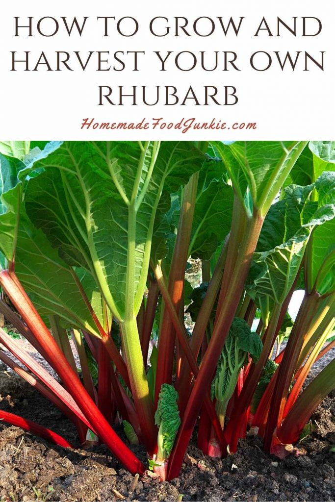 How To Grow And Harvest Your Own Rhubarb-Pin Image